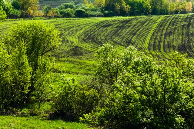 Shoots. Green lines in a field.